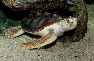 Loggerhead_Sea_Turtle