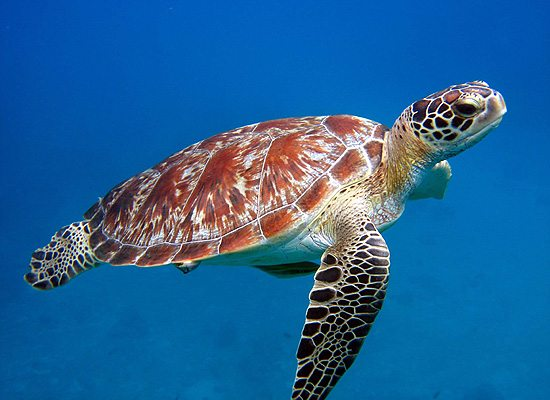 snorkeling with sea turtles of the great barrier reef